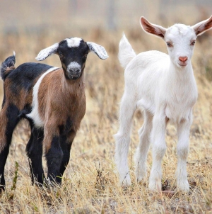 Meet the Goats